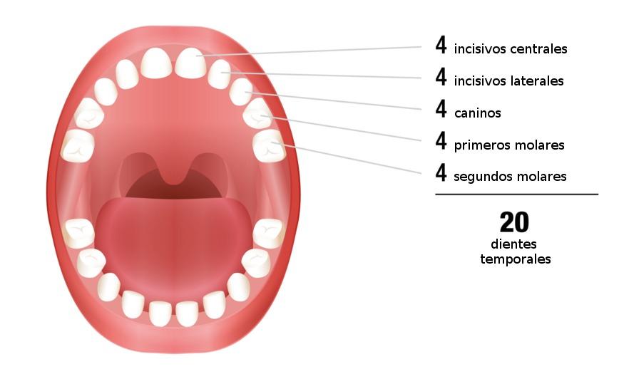 partes de los dientes de leche